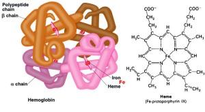 Hemoglobine en heem