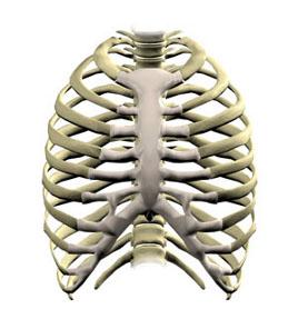 borstbeen (sternum) en ribben