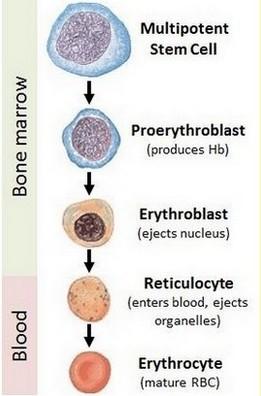 erytropoëse - ontwikkeling van rode bloedcellen (erytrocyten)