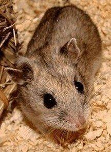 eierstokcellen van de Chinese hamster worden gebruikt voor de productie van epoëtine-alfa
