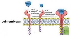 erytropoëtine-receptoren