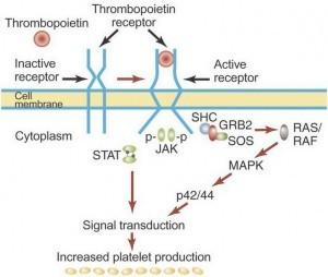trombopoëtine activeert trombopoëtine-receptoren
