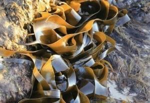 kelp bevat jodium - oorzaak van hyperthyreoïdie
