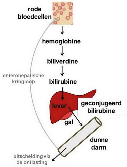 bilirubine in de enterohepatische kringloop