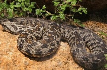 een slangenbeet door een gifslang kan levensbedreigend zijn