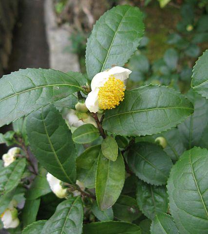 sinecatechins zijn afkomstig van de theeplant Camellia sinensis