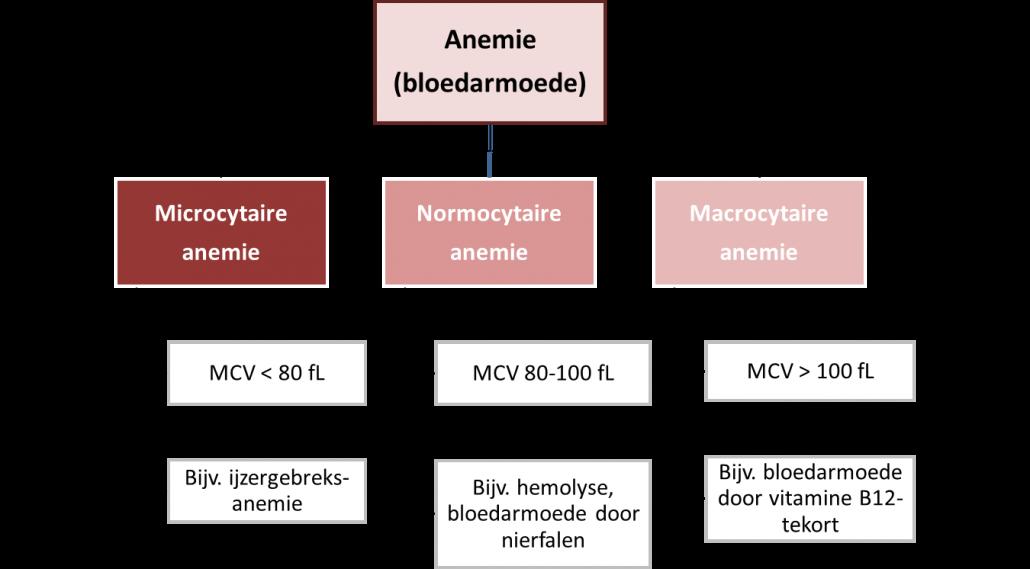 Bloedarmoede (anemie) - indeling naar grootte van de rode bloedcellen: microcytaire anemie, normocytaire anemie en macrocytaire anemie